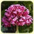 Centranthus ruber (Centranthe Rouge) - Flore des Calanques - L`Herbier de Loulou