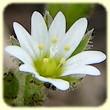 Cerastium pumilum (Céraiste nain) - Flore des Calanques - L`herbier de Loulou