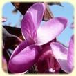 Cercis siliquastrum (Arbre de Judée) - Flore des Calanques - L`Herbier de Loulou