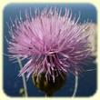Cheirolophus intybaceus (Centaurée fausse chicorée) - Flore des Calanques - L'Herbier de Loulou