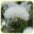 Cheirolophus intybaceus (Centaurée fausse chicorée blanche) - Flore des Calanques