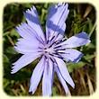 Cichorium intybus (Chicorée sauvage) - Les Randos de Loulou