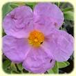 Cistus albidus (Ciste Cotonneux) - Flore des Calanques - L`herbier de Loulou