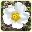 Cistus monspeliensis (Ciste de Montpellier) - Flore des Calanques - L'herbier de Loulou