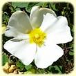 Cistus salviifolius (Ciste à feuilles de sauge) - Flore des Calanques - L`herbier de Loulou