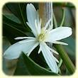 Clematis flammula (Clematite brulante) - Flore des Calanques - Herbier de Loulou