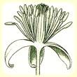 Clematis vitalba (Clématite des haies) - Flore des Calanques - Herbier de Loulou