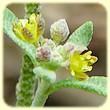 Clypeola jonthlaspi (Clypéole) - Flore des Calanques - Herbier de Loulou