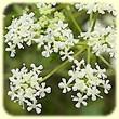 Conium maculatum (Cigue tachetée ou Grande Cigue) - Flore des Calanques - L'herbier de Loulou