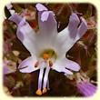 Coris monspeliensis (Coris de Montpellier) - Flore des Calanques - Herbier de Loulou