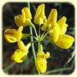 Coronilla juncea (Coronille à tige de jonc) - Flore des Calanques - L`herbier de Loulou