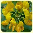 Coronilla valentina subps. glauca (Coronille glauque) - Flore des Calanques - L`herbier de Loulou