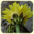 Crepis albida (Crépide blanchâtre) - Flore des Calanques - Herbier de Loulou