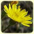 Crepis sancta (Crépide de Nîmes) - Flore des Calanques - Herbier de Loulou