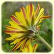 Crepis vesicaria subsp. taraxacifolia (Crépide à feuilles de pissenlit) - Flore des Calanques - Herbier de Loulou