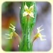Crucianella latifolia (Crucianelle à larges feuilles) - Flore des Calanques - Lherbier de Loulou