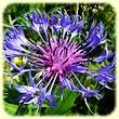 Cyanus montanus ou Centaurea montana (Centaurée de montagne) - Les Randos de Loulou