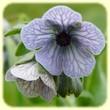 Cynoglossum creticum (Cynoglosse de Crète) - Flore des Calanques - Herbier de Loulou