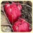Cytinus ruber (Cytinet rouge) - Flore des Calanques - Herbier de Loulou