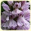 Dactylorhiza maculata (Orchis tacheté) - Flore du Tarn - L'Herbier de Loulou