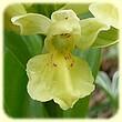 Dactylorhiza sambucina (Orchis à larges feuilles) - Flore de montagne - L'herbier de Loulou
