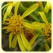 Dittrichia viscosa (Inule visqueuse) - Flore des Calanques - Herbier de Loulou