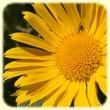 Doronicum grandiflorum (Doronic à grandes fleurs) - Flore de montagne - L'herbier de Loulou