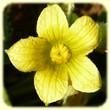 Ecballium elaterium (Concombre d`ane) - Flore des Calanques - L`herbier de Loulou