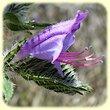 Echium vulgare (VipErine commune) - Flore des Calanques - herbier de Loulou