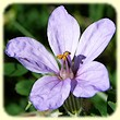 Erodium Ciconium (Erodium bec de cigogne) - Flore des Calanques - Herbier de Loulou