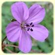 Erodium acaule (Erodium acaule ou Erodium sans tige) - Flore des Calanques - Herbier de Loulou