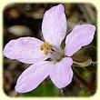 Erodium chium (Erodium de Chios ou Bec-de-grue de Chios) - Flore des Calanques - Herbier de Loulou
