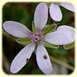 Erodium cicutarium (Erodium à feuilles de ciguë) - Flore des Calanques - Herbier de Loulou