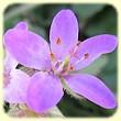 Erodium malacoides (Erodium à feuilles de mauve) - Flore des Calanques - Herbier de Loulou