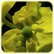 Euphorbia cyparissias (Euphorbe Petit-Cypres) - Flore des Calanques - Herbier de Loulou