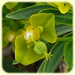 Euphorbia dendroides (Euphorbe arborescente) - Flore des Calanques - Herbier de Loulou