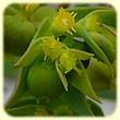 Euphorbia exigua (Euphorbe fluette) - Flore des Calanques - Herbier de Loulou