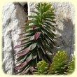 Euphorbia linifolia (Euphorbe a feuilles de lin) - Flore des Calanques - Herbier de Loulou