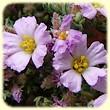 Frankenia hirsuta (Frankénie hirsute) - Flore des Calanques - L`herbier de Loulou