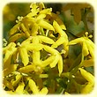 Galium verum (Gaillet jaune) - Flore de montagne - L'herbier de Loulou