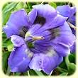 Gentiana angustifolia (Gentiane à feuilles étroites) - Les Randos de Loulou