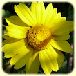 Glebionis coronaria (Chrysanthème couronné) - Flore des Calanques - L`herbier de Loulou