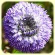 Globularia alypum (Globulaire buissonnante) - Flore des Calanques - Herbier de Loulou