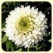 Globularia alypum `alba` (Globulaire buissonnante fleurs blanches) - Flore des Calanques - Herbier de Loulou