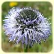 Globularia bisnagarica ( Globulaire allongée) - Les Randos de Loulou