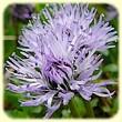Globularia repens (Globulaire rampante) - Flore des Calanques - Herbier de Loulou