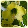 Hyoscyamus albus (Jusquiame blanche) - Les Randos de loulou - Flore des Calanques