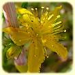 Hypericum perforatum (Millepertuis perforé) - Les Randos de Loulou - Flore des Calanques