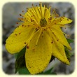 Hypericum richeri subsp. richeri (Millepertuis de Richer) - Flore de montagne - L'herbier de Loulou
