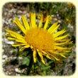 Inula montana (Inule des montagnes) - Flore des Calanques - Herbier de Loulou